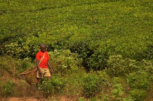 Afrika, Uganda, Fort Portal, čajni nasadi, potovanje, popotniški bl