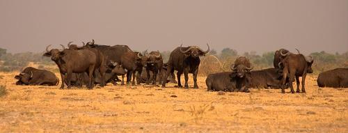 Afrika, Uganda, potovanje, popotniški blog, narodni park Murchison Falls, reka Nil, vodni bivoli