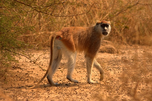 Afrika, Uganda, potovanje, popotniški blog, narodni park Murchison Falls, reka Nil, opice