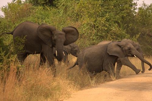 Afrika, Uganda, sloni, afriški safari,narodni park, potovanje, popotniški blog