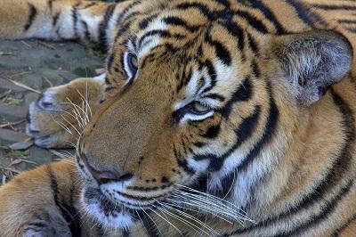 Tajska potovanje, popotniški blog, tigri, potovanje