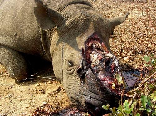 Afrika, Uganda,beli nosorog, divji lovci, Ziwa zavetišče za nosoroge, potovanje, popotniški blog