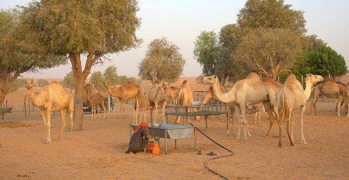 beduini, kamele, arabski emirati, potovanje v arabske emirate